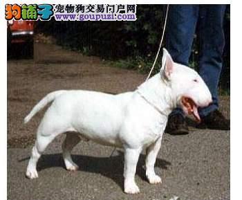 深圳正规狗场 最大狗场 永嘉狗场 出售牛头梗幼犬