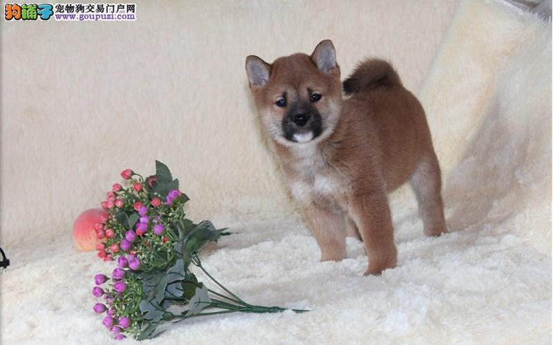 精品小柴犬/忠诚可靠/漂亮可爱