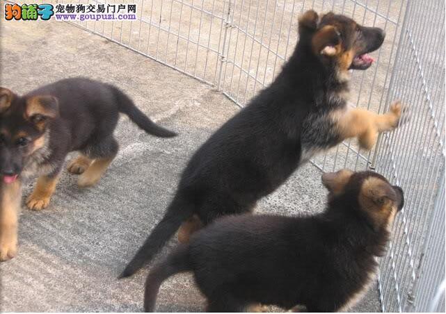 合肥精品狼狗 保纯保健康 疫苗和驱虫均已做 可签协议