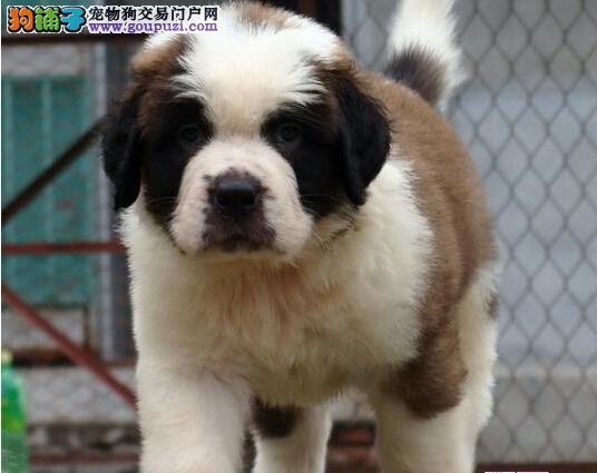 精品赛级圣伯纳、国际血统品相好、提供养狗指导