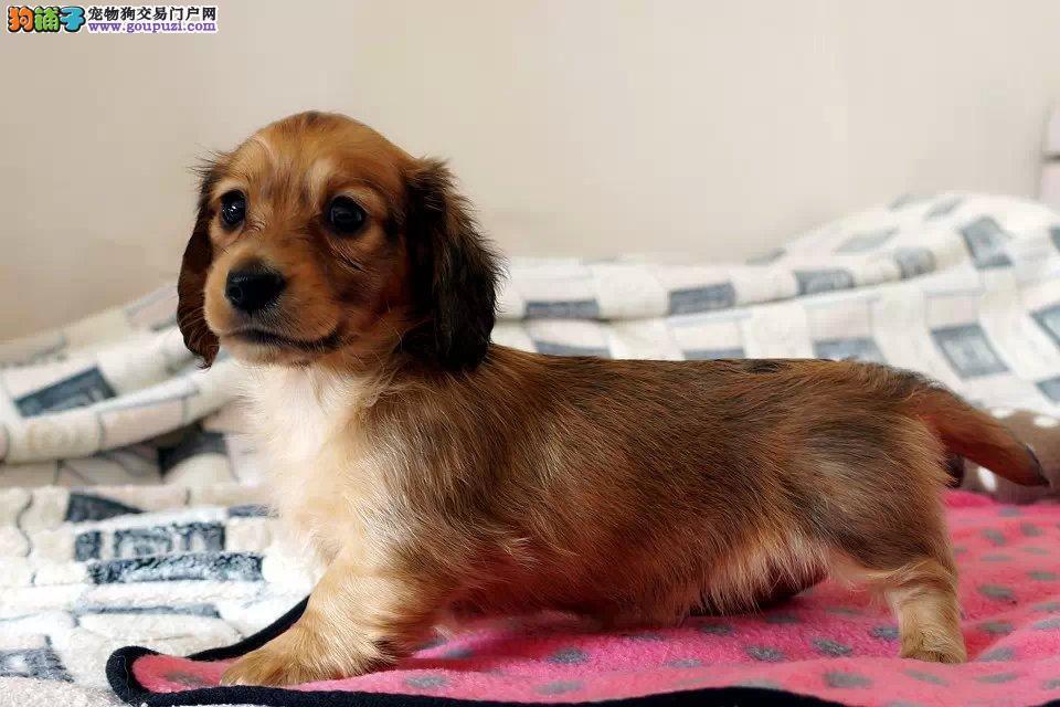 出售多种颜色福州纯种腊肠犬幼犬可签订活体销售协议