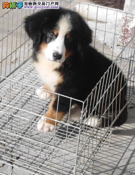 北京专业的伯恩山犬舍终身保健康送用品送狗粮