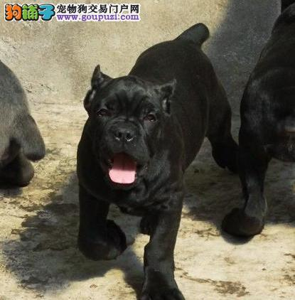 纯种卡斯罗幼犬 高品质意大利护卫犬 虎斑铁面