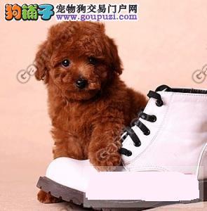 杭州什么地方有卖健康的泰迪狗狗杭州纯种泰迪犬多少钱