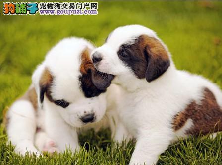 纯种犬培育基地售高品质圣伯纳幼犬 健康质保签订协
