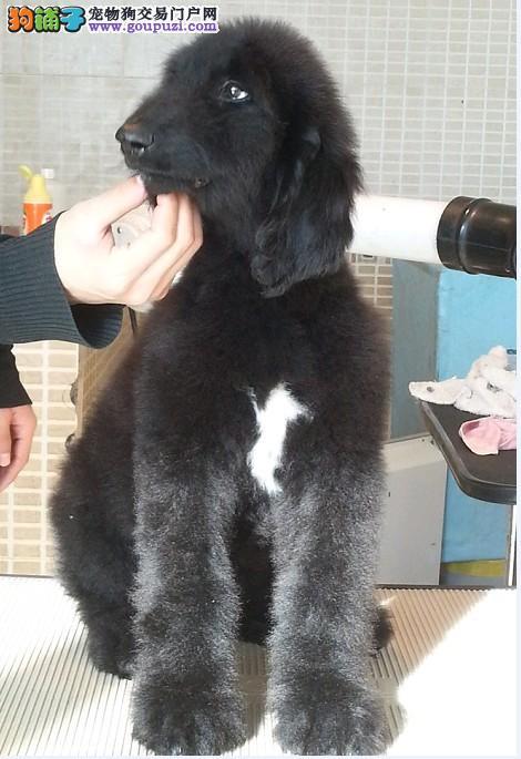 家养赛级阿富汗猎犬宝宝品质纯正均有三证保障