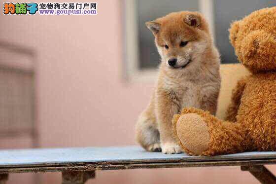 CKU犬舍认证出售纯种柴犬冠军级血统品质保障