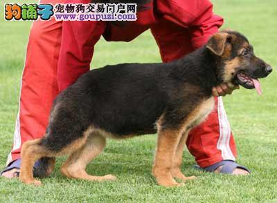 重庆一只狼狗的故事重庆狼狗多少一只