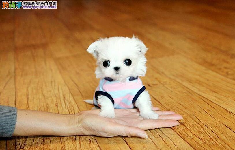 勇气十足,情感丰富的狗狗  马尔济斯