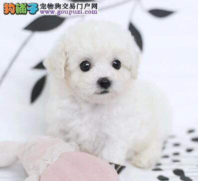 纯种茶杯犬 世界最小 最萌名犬 质保3年健康保证