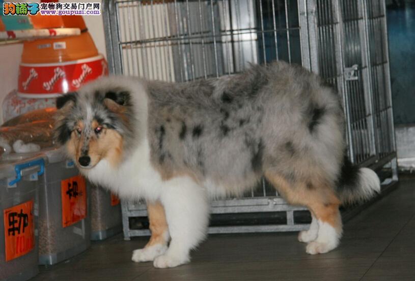 基地直销极品苏格兰牧羊犬 保健康保纯种 签售后协议