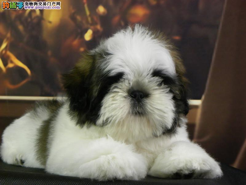 CKU认证犬舍出售高品质西施犬微信咨询视频看狗