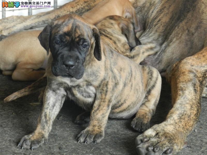 精品纯种大丹犬出售质量三包支持全国空运发货