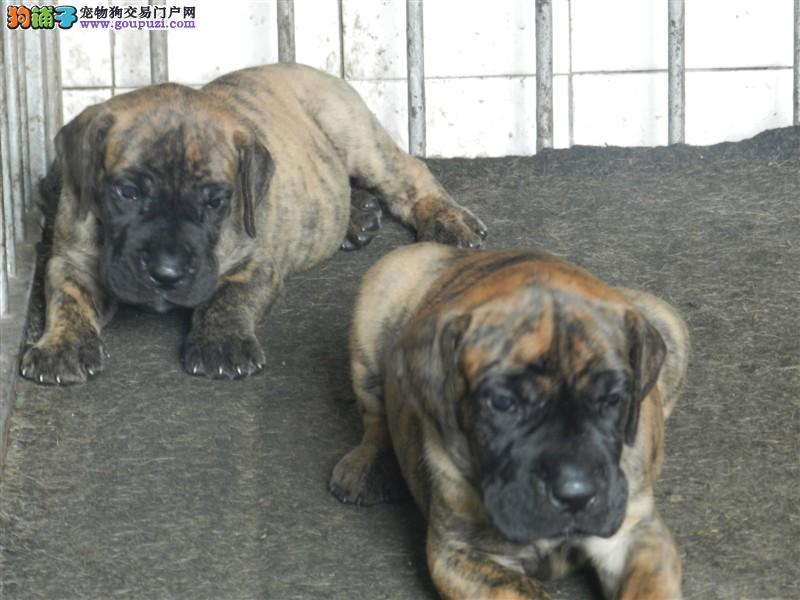 赛级大丹犬幼犬,打完疫苗证书齐全,质保健康90天