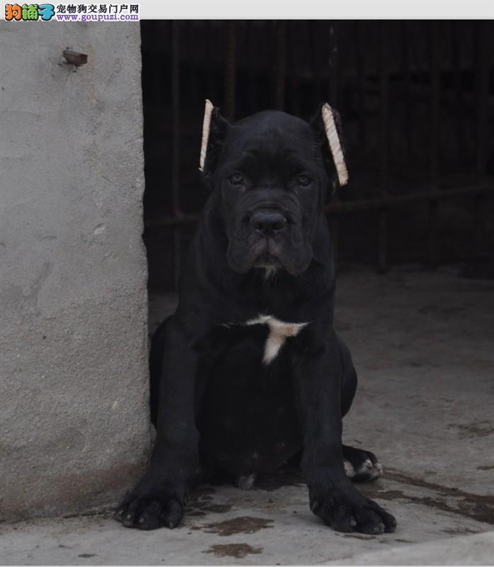 CKU犬舍专业繁殖卡斯罗幼犬 身体健康 骨骼粗壮