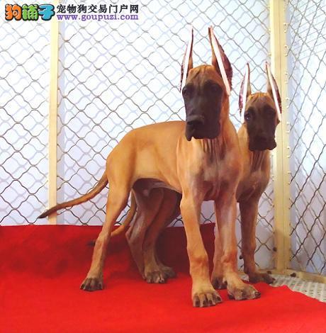 赛级品相大丹犬幼犬低价出售CKU认证品质绝对保障