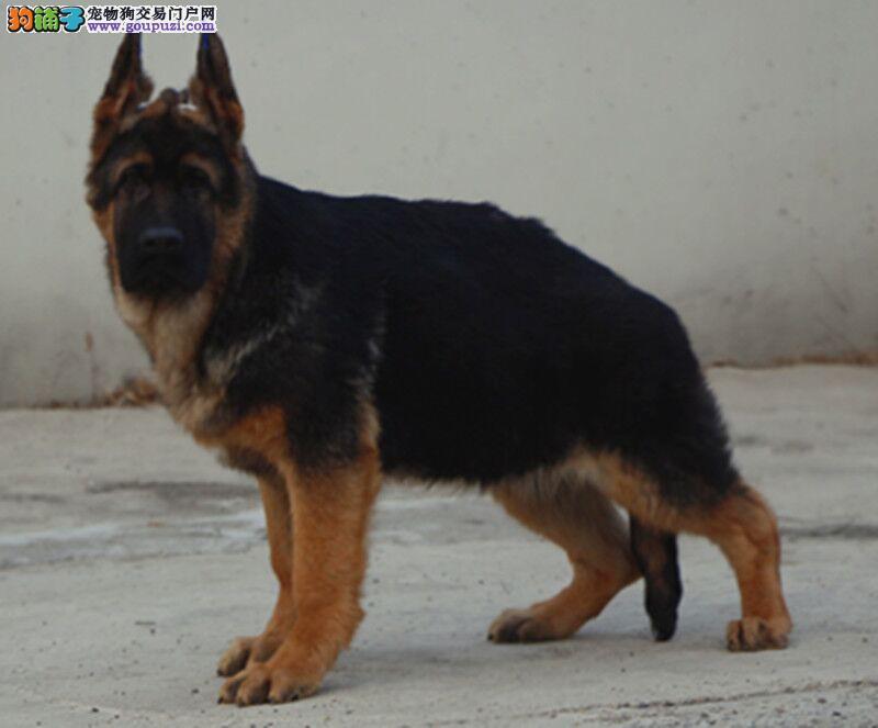 国际注册犬舍 出售极品赛级狼狗幼犬品相一流疫苗齐全