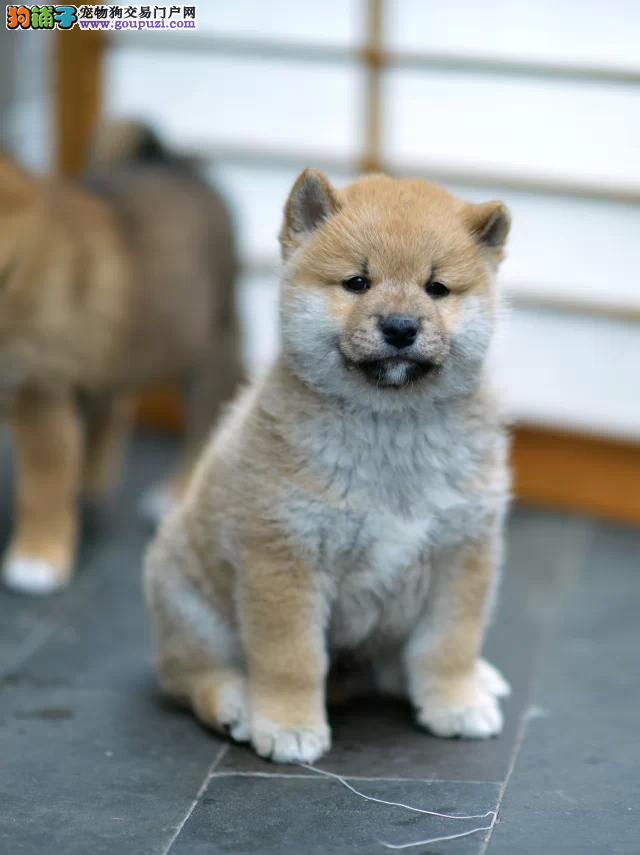 柴犬奇迹物语中的狗 日本柴犬 正宗日本引进柴犬宝宝