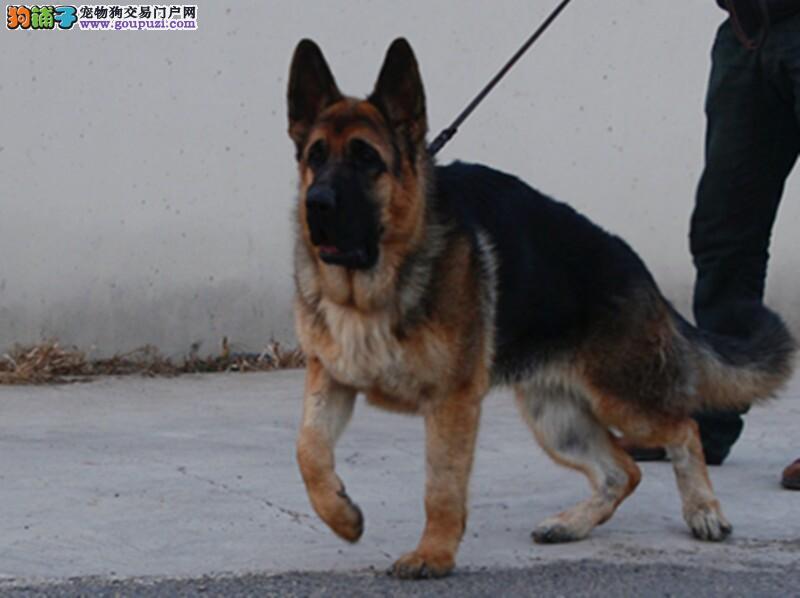 极品纯正的狼狗幼犬热销中品质保障可全国送货