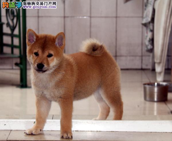 精品柴犬 CKU认证注册犬舍 保售后 终身包纯种