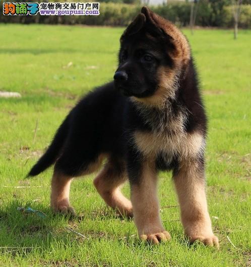 武汉自家狗场繁殖直销狼狗幼犬以品质惊世人