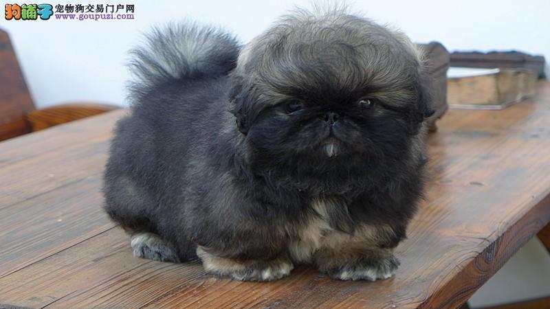 CKU认证犬舍 专业出售极品 京巴幼犬CKU认证品质绝对保障