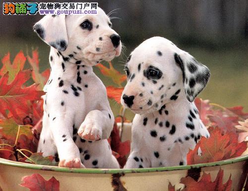 平静而警惕的狗狗 斑点狗,可爱超萌