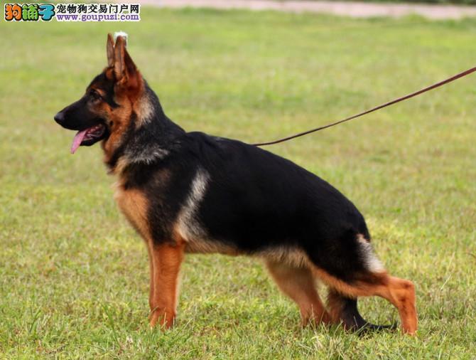 CKU认证犬舍 专业出售极品 狼狗幼犬优质售后服务