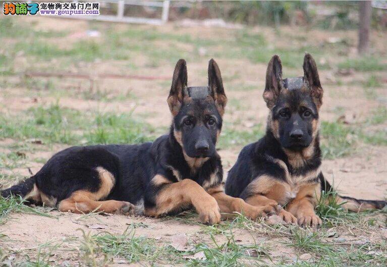 权威机构认证犬舍 专业培育狼狗幼犬全国质保全国送货