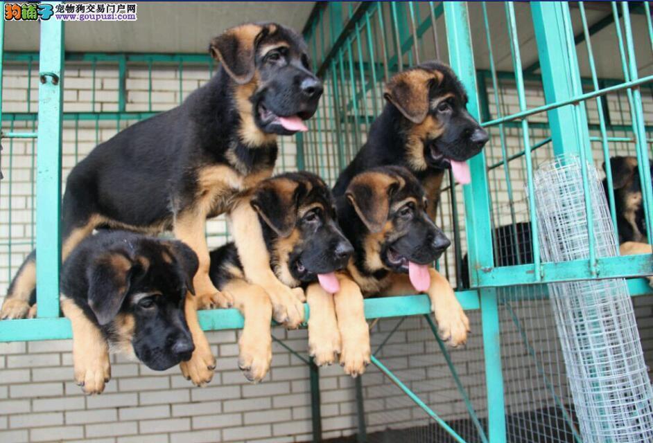 狼狗成都最大的正规犬舍完美售后我们承诺售后三包