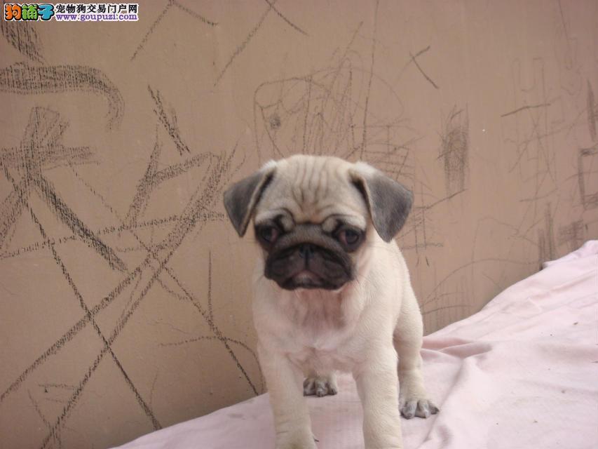 出售北京巴哥犬健康养殖疫苗齐全喜欢微信咨询