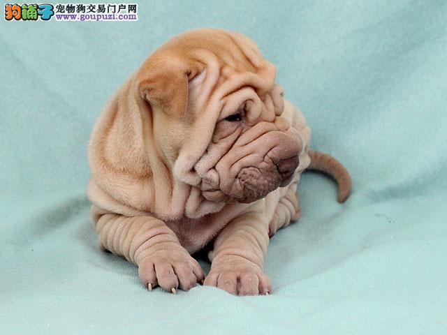 纯种沙皮狗幼崽、国际血统品相好、喜欢加微信