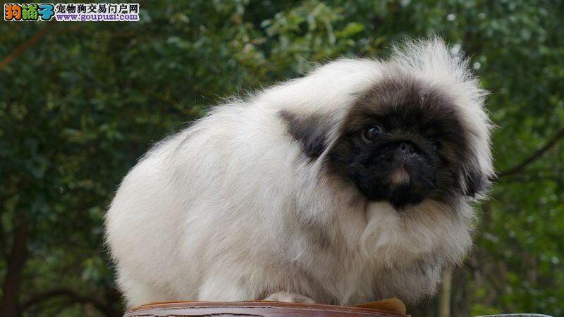 冠军犬后代赛级高品质京巴幼犬免疫驱虫齐全健康