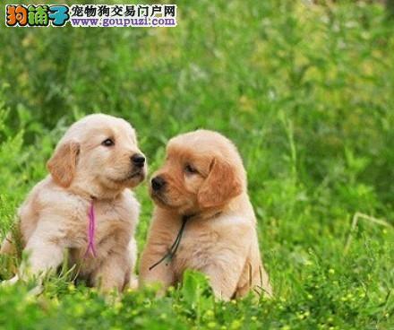 金灿灿品相极佳的金毛犬找新家 昆明市内免费送货上门