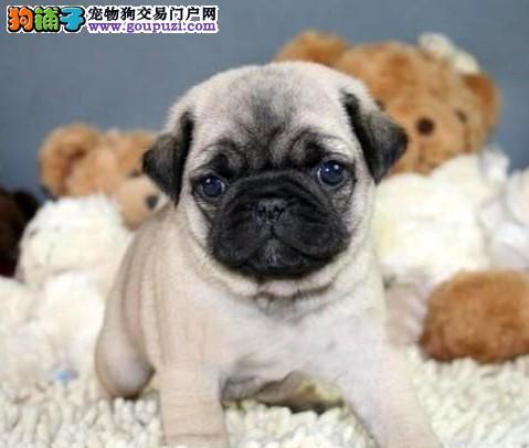 基地出售活泼可爱的巴哥幼犬,保证健康,可上门挑选