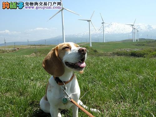 专业繁殖 比格犬 签订协议 支持送货上门