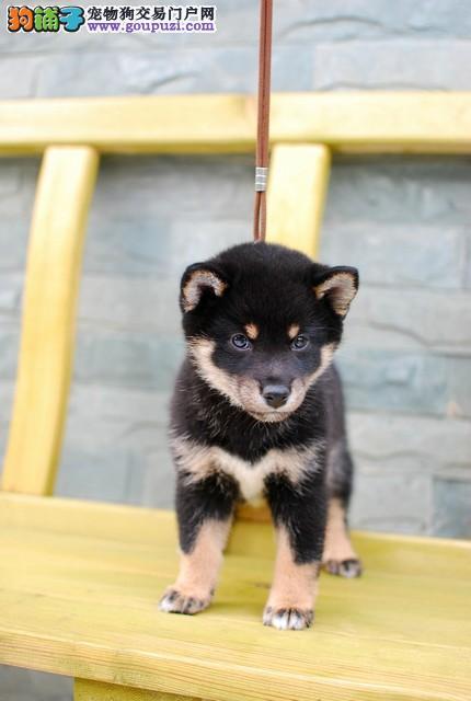出售颜色齐全身体健康柴犬签署各项质保合同