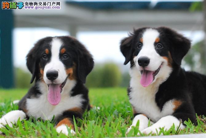 海口养殖直销瑞士伯恩山犬幼犬 疫苗驱虫已做 可送上门