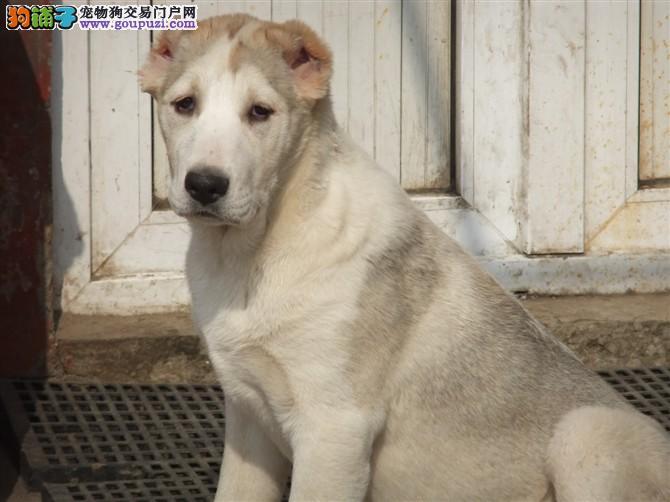 银川正规犬舍高品质中亚牧羊犬带证书最优秀的售后