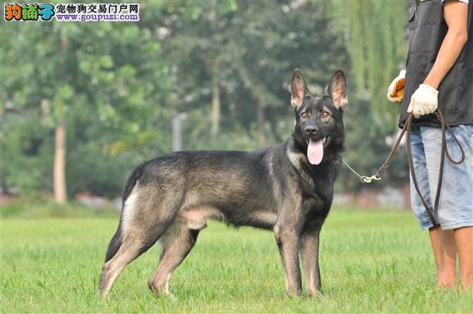赛级品相昆明犬幼犬低价出售期待您的来电咨询