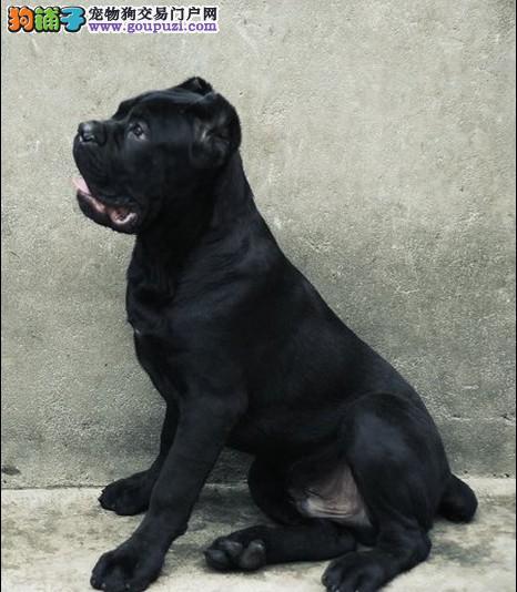 护卫犬极品卡斯罗 山东烟台欢迎上门看狗微信看照片