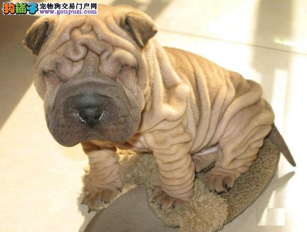 顶级优秀的纯种沙皮狗重庆热卖中期待您的光临