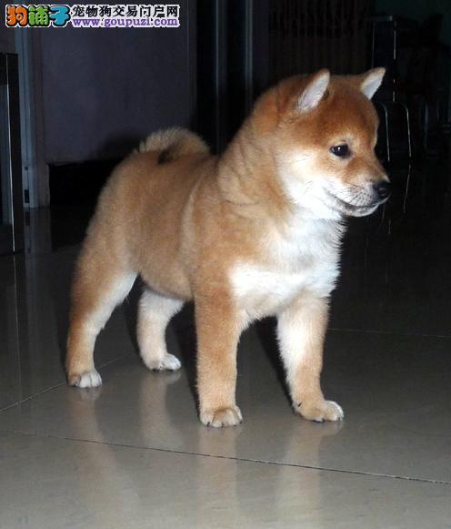 柴犬西宁最大的正规犬舍完美售后优质服务终身售后