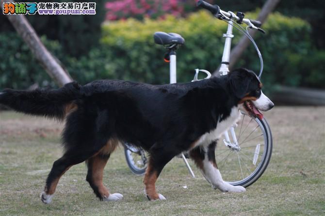 体型高大性格温顺 忠实伴侣犬