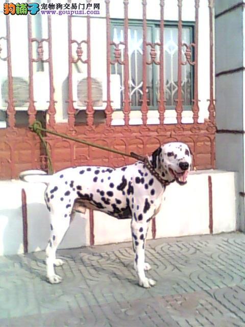 深圳哪里有卖斑点狗,深圳斑点狗一只多少钱