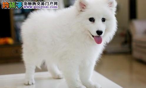 兰州出售银狐犬颜色齐全公母都有一分价钱一分货