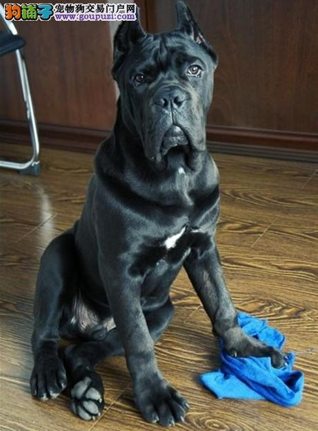 纯种意大利纯血统重头版的卡斯罗护卫犬