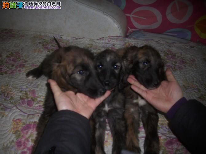 100%纯种健康的阿富汗猎犬出售我们承诺终身免费售后