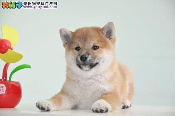 极品柴犬在这里、优惠纯种和健康、CKU认证犬业