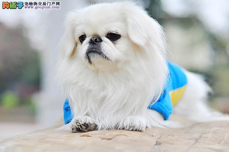出售纯种健康的贵阳京巴幼犬提供护养指导